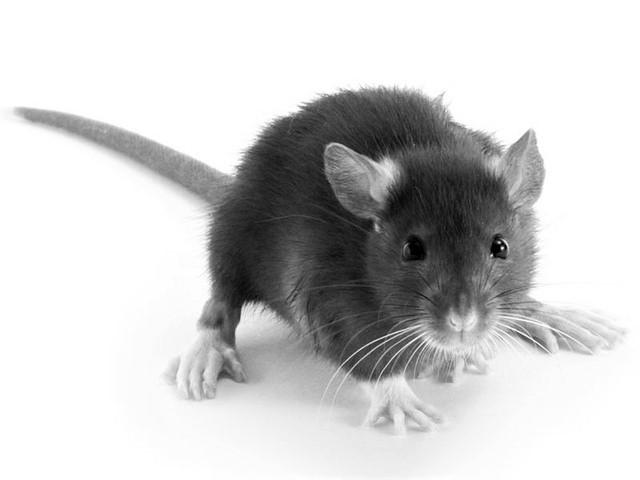 Compatibilités homme Rat