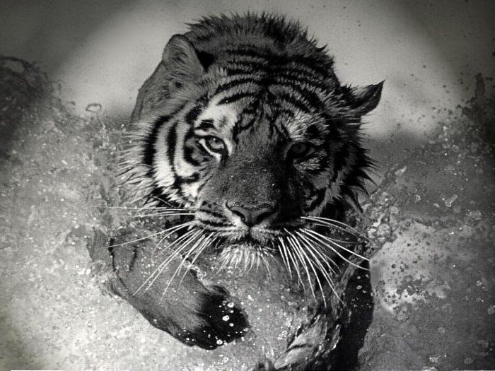 compatibilités homme tigre